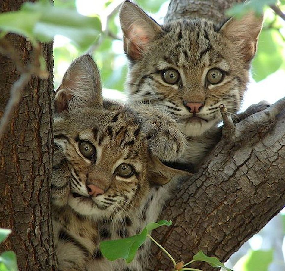Bobcat kittens. Bobcats can be recognized by their stubby