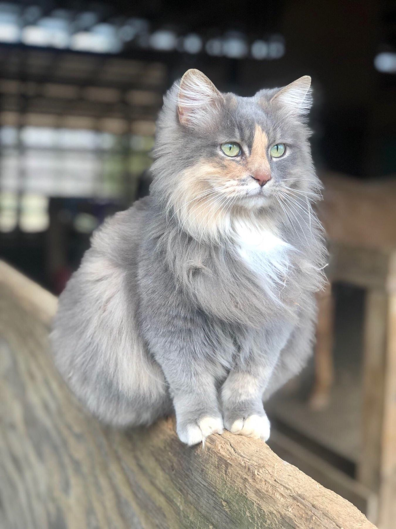 Such A Beauty Pretty Cats Cute Animals Cute Cats