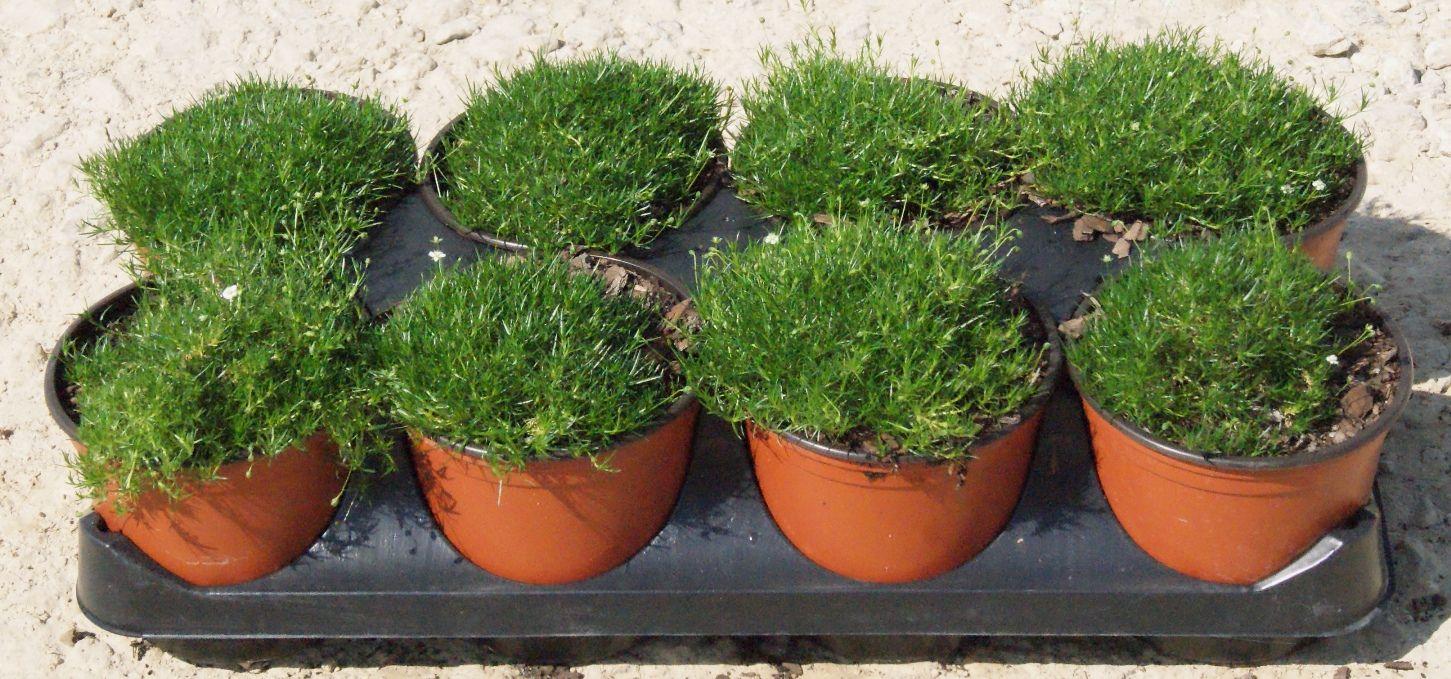 Landscaping With Irish Moss : Irish moss fairy garden ideas and plants