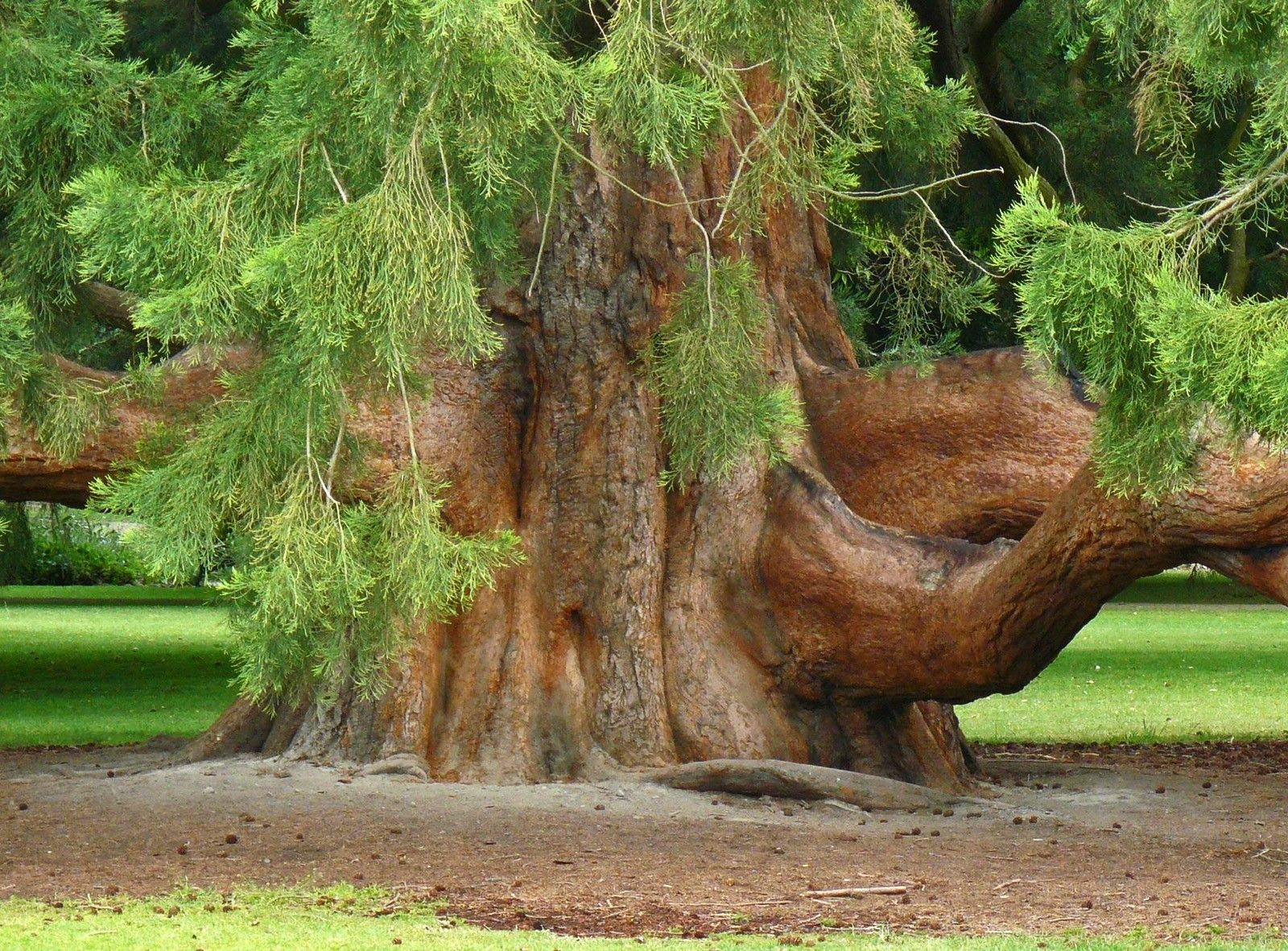 113 best awesome trees images on Pinterest   Forests, Roots and Old ...