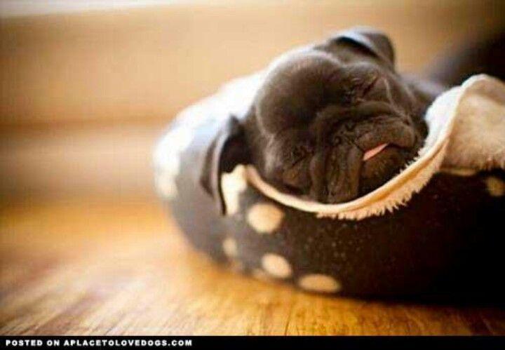 Pug Winter Bedroom Baby Pugs Sleeping Puppies Cute Pugs