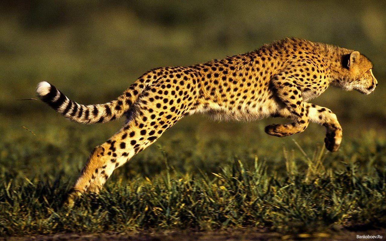 Обои африка, охота, сафари, Кошка, леопард. Кошки foto 12