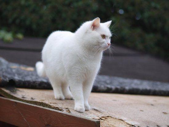 beautiful white cat!