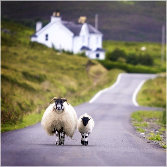 Sheep Walking in the Highlands, Scotland, via Etsy.
