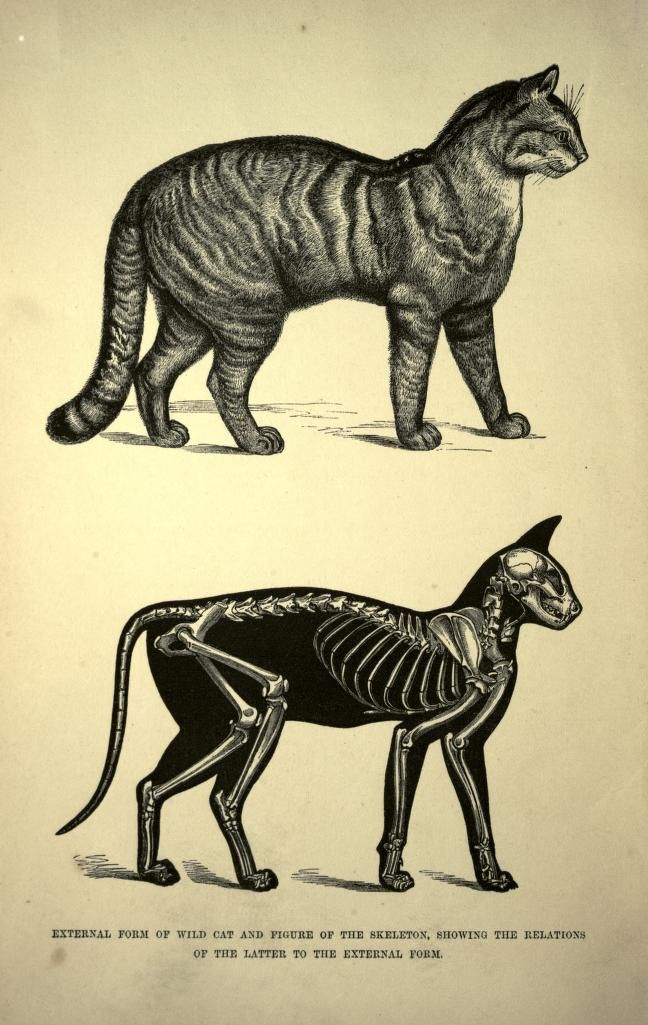 """From """"The cat; an introduction to the study of backboned animals ..."""