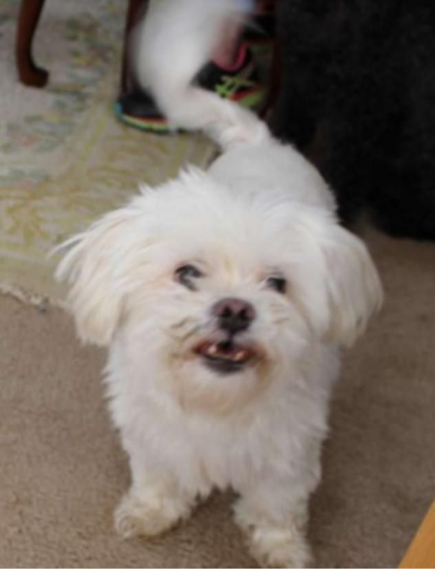 Adopt Gatsby On Shelter Dogs Maltese Dogs Dogs