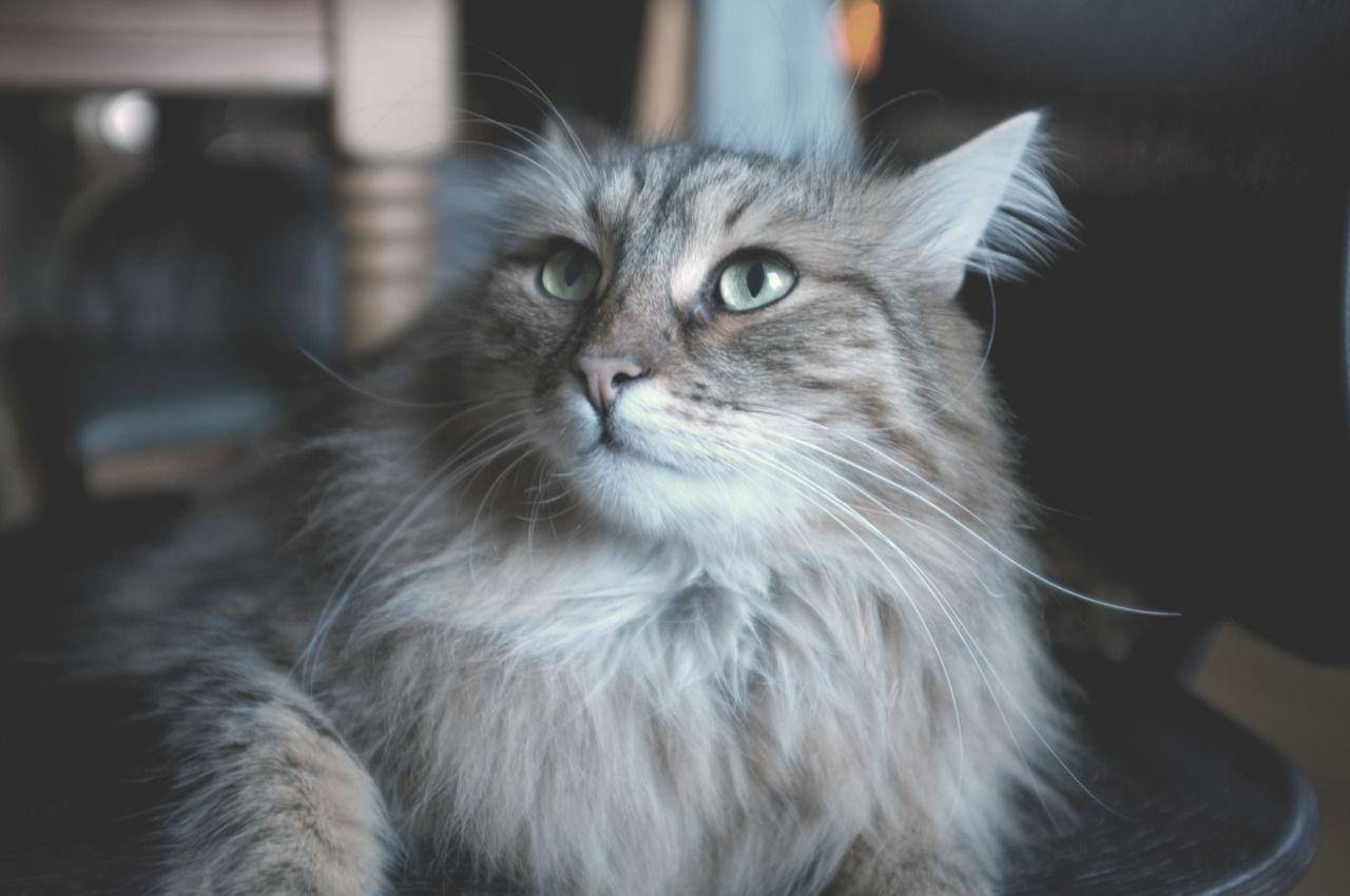 1280x850 Kitten Wallpaper