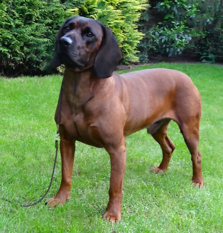 Bayerische Gebirgsschweisshund Home Jagdhunde Hunde Bgs Hund