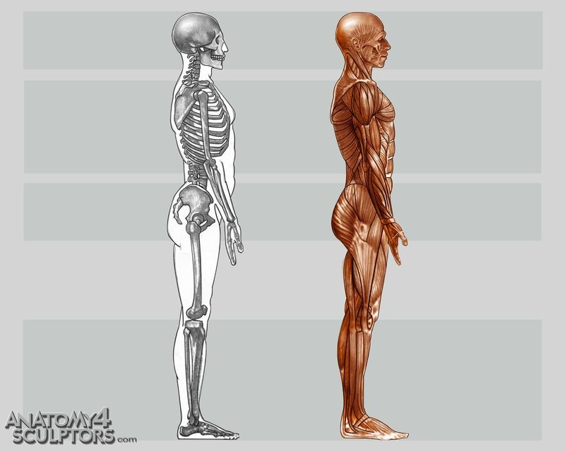 body side | human anatomy | Pinterest