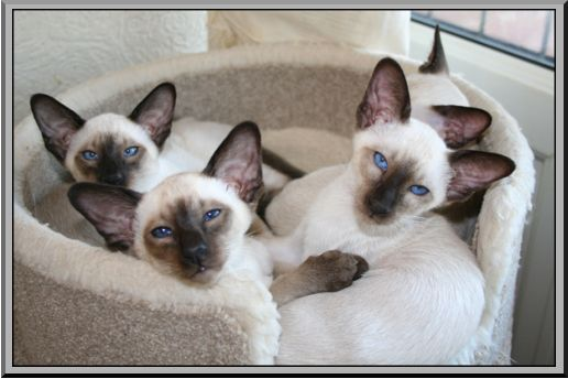 The Breeder Of These Beautiful Siamese Kittens Has Used The Term