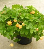 Lakka Nyby (Rubus chamaemorus)