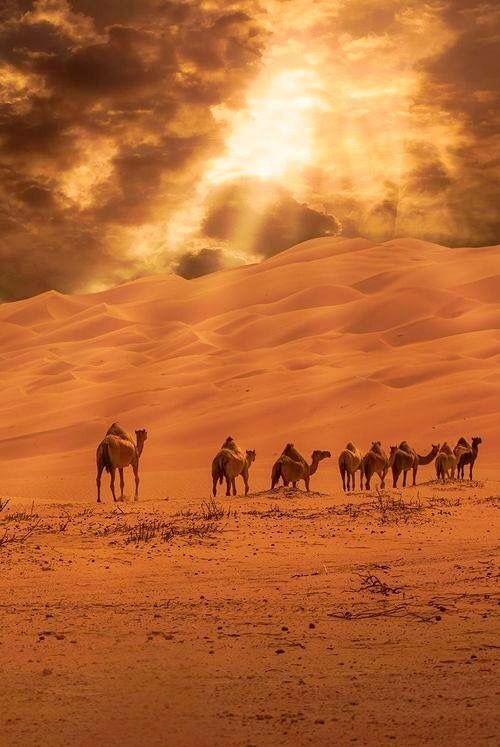 besutiful desert nature camels