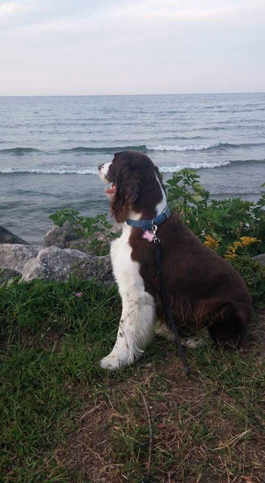 Greetings From The Shores Of Lake Erie English Springer Spaniel Beautiful Dogs Springer Spaniel