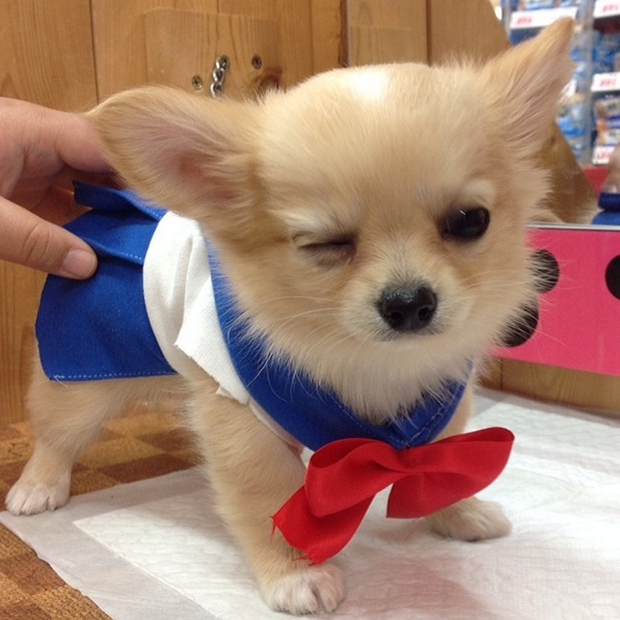 Amazing Small Anime Adorable Dog - e84f247716d09b38e287a0fc73debc9c  Trends_192793  .png