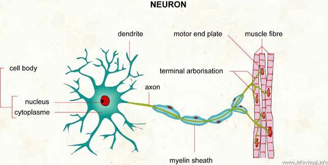 The Neuron Anatomy Neurons Pinterest