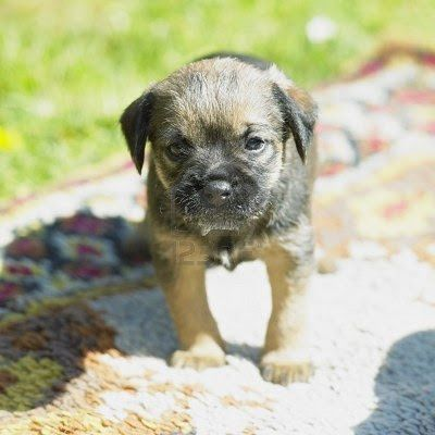 Border Terrier Puppy Puppy Dog Pictures Border Terrier Border