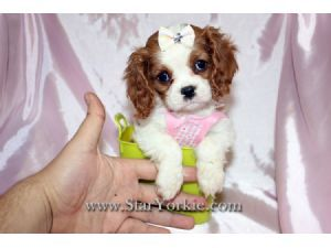 Cavalier King Charles Spaniel Puppies For Sale King Charles Cavalier Spaniel Puppy Cavalier King Charles Dog Spaniel Puppies For Sale