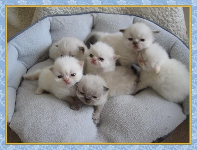Persian Kittens Houston Cute Cats Pictures Cute Cats Photos Baby Cats Cute Cats