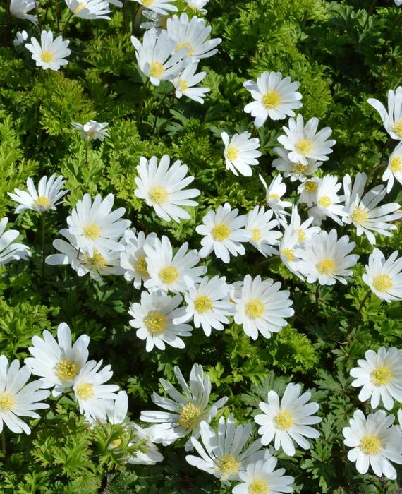 Anemone Blanda White Splendour Windflowers In 2020 Bulb Flowers White Plants Anemone