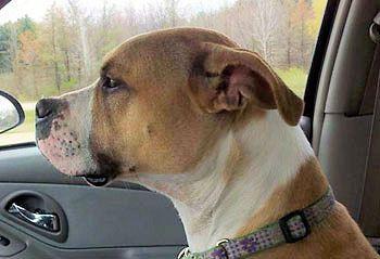 american pitbull boxer mix - Google Search | Doggies