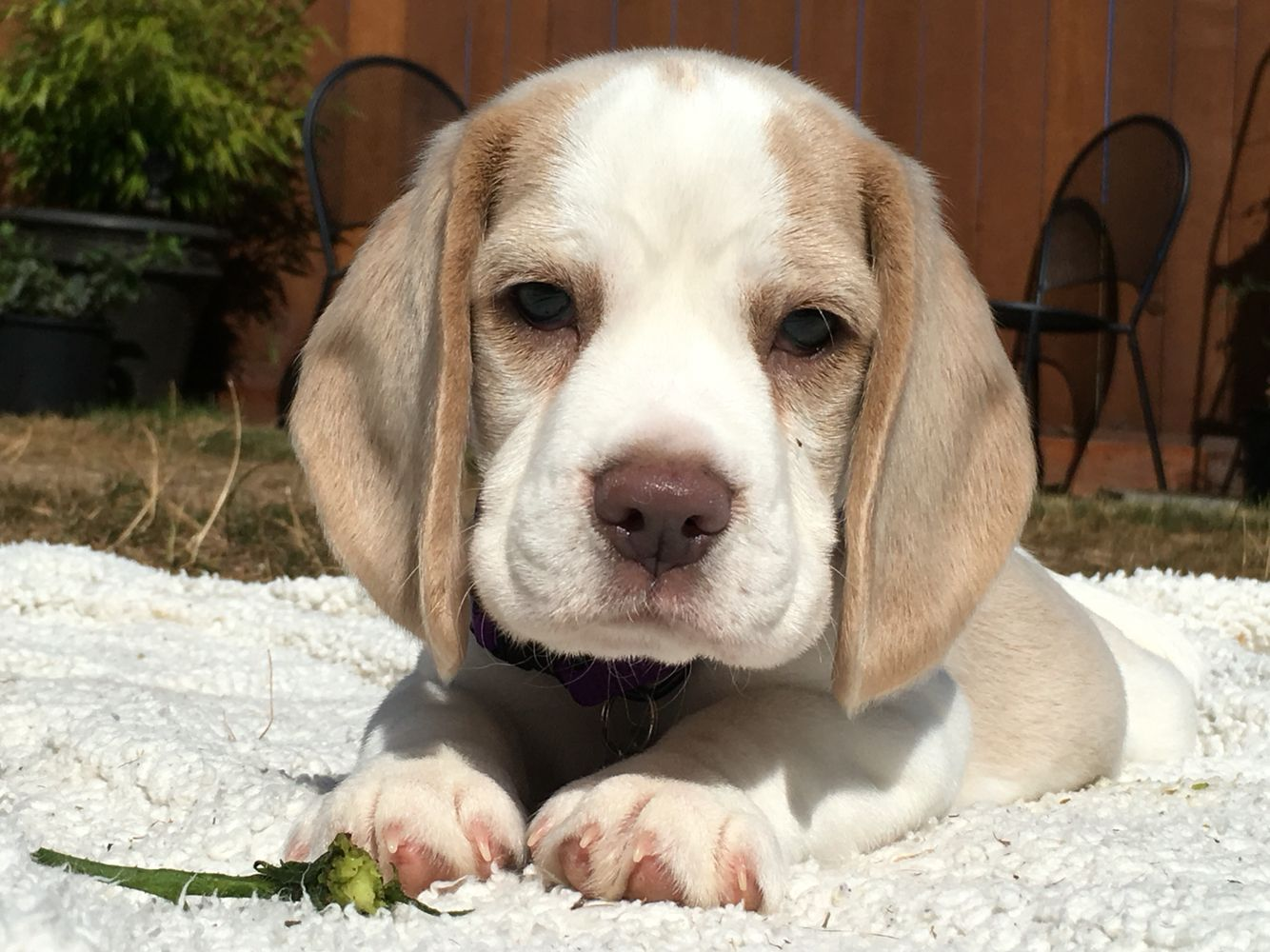 Lavender Beagle Beagle Animals Labrador Retriever