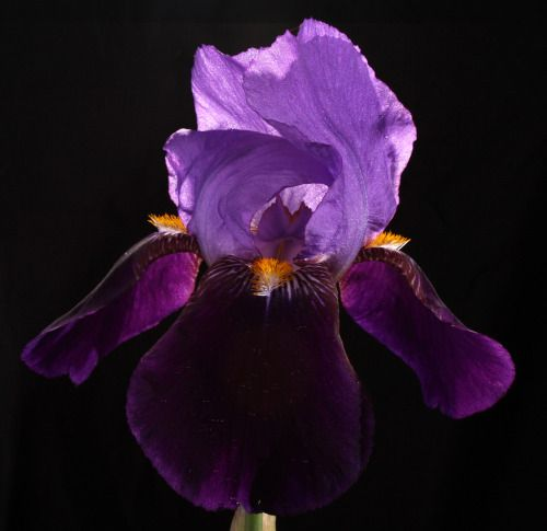 In Every Journey There Is Meaning Purple Iris On Black By Julie Purple Iris Iris Purple Love