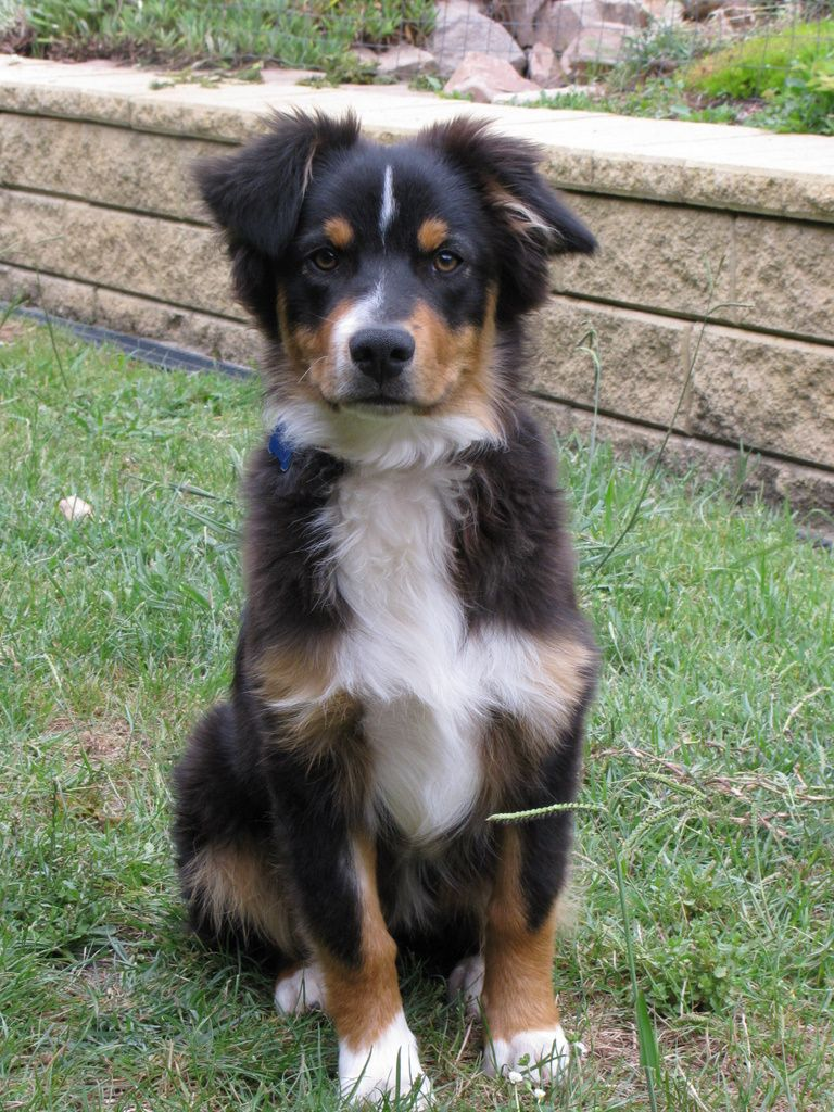 Australian Shepherd Australian Shepherd Dogs Aussie Dogs Beautiful Dogs