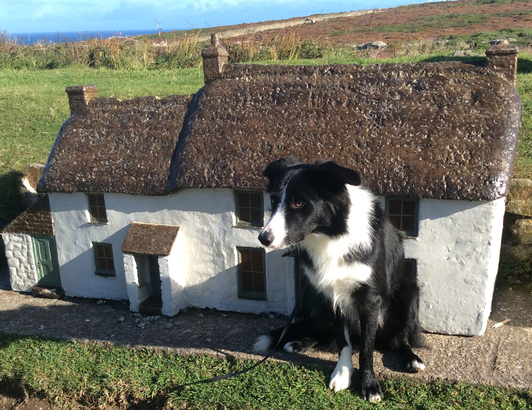 Moss At Lands End Cornwall Border Collie Border Collie Puppies