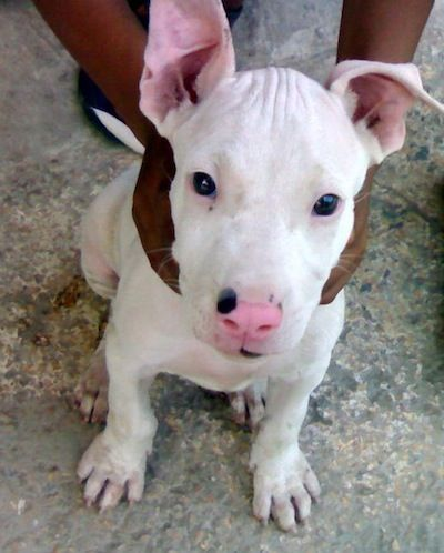 Pakistani Bull Terrier Information And Pictures Gull Terrier