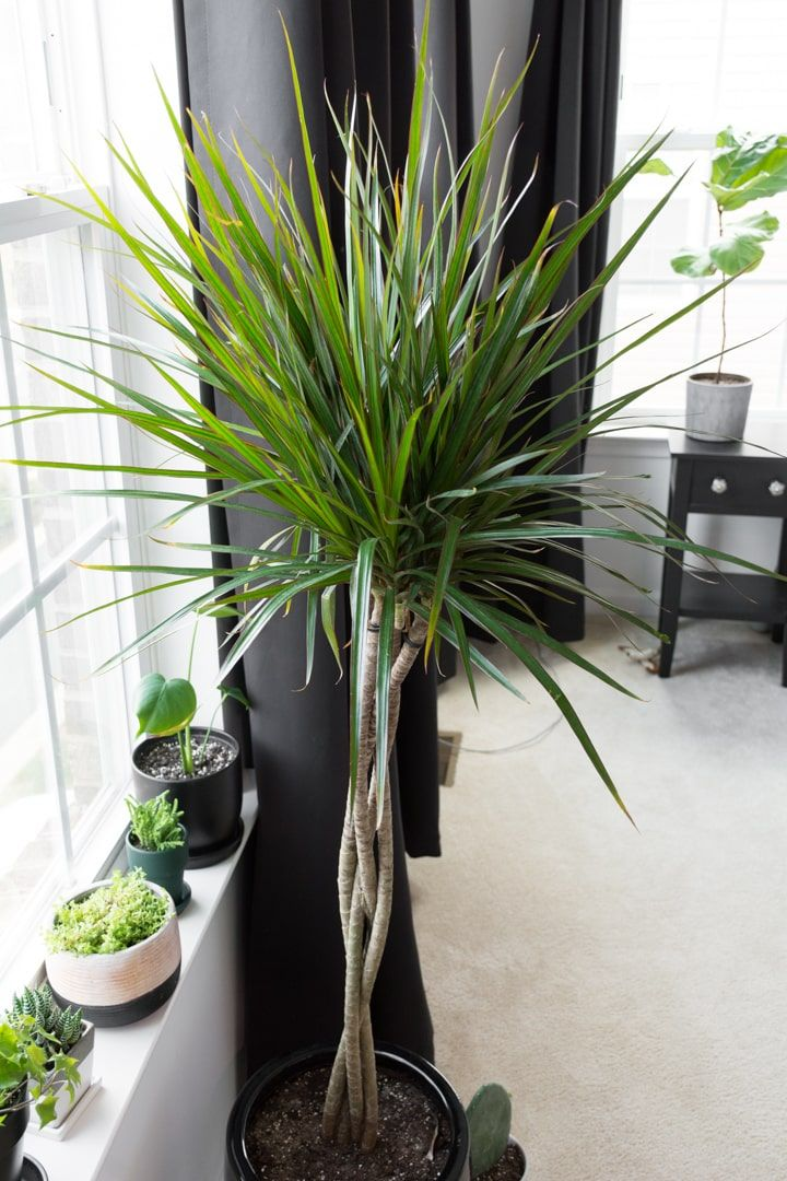 Dracaena care all about growing dracaena indoors in 2020