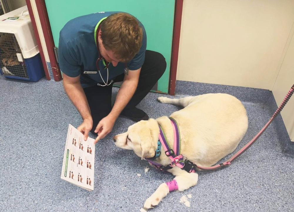 How Dumpling The Labrador Found Her Happily Ever After Australian Dog Lover In 2020 Funny Cat Photos Labrador Labrador Rescue