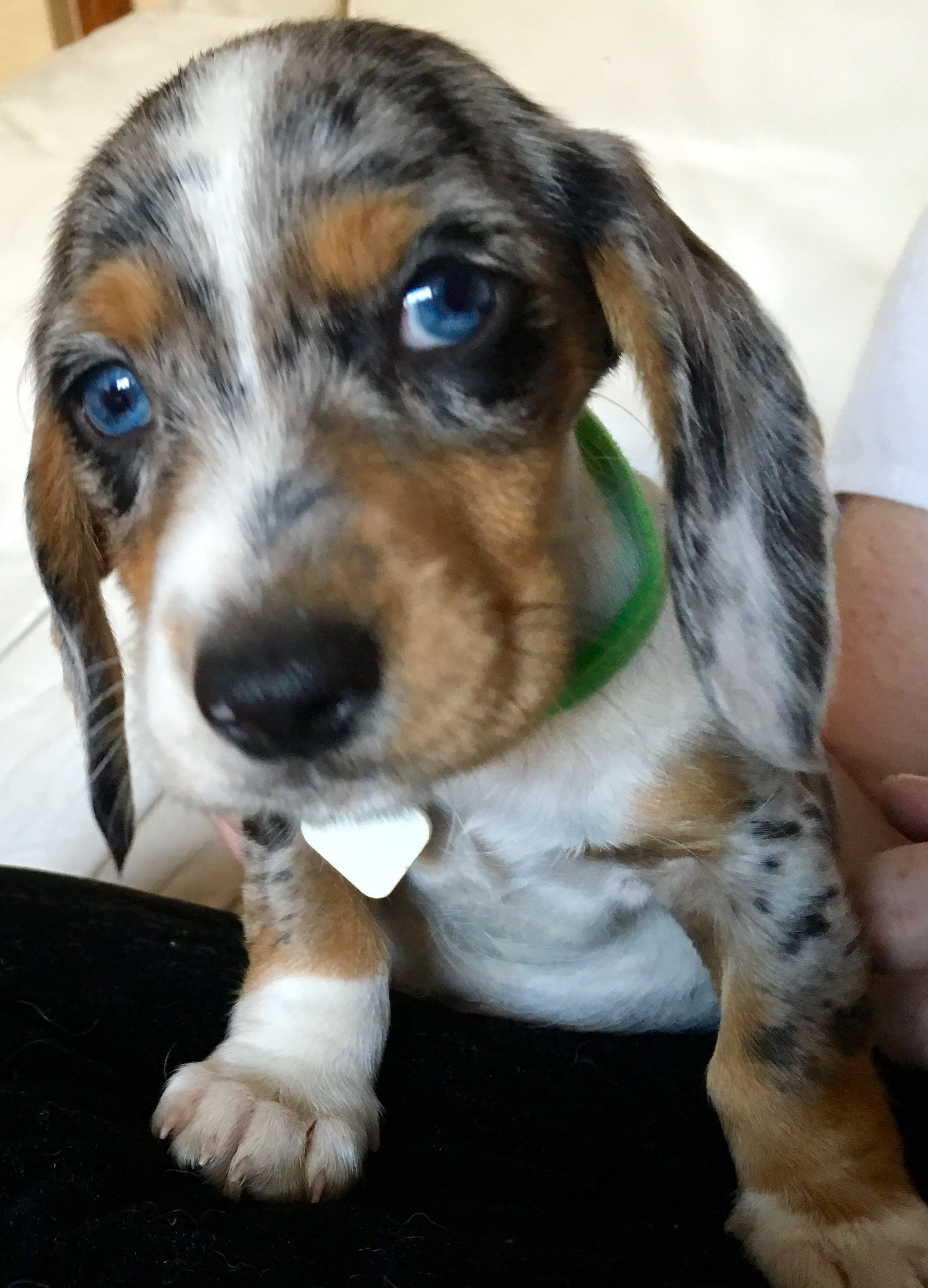 Double Dapple Dachshund With Blue Eyes Luv The Eyes Cuddles Muffin
