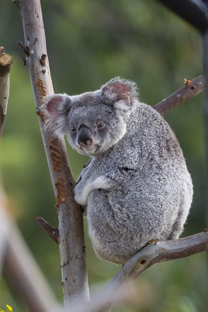 Koala stink-eye by Official San Diego Zoo, via Flickr - Dental Implants San Diego - Call (619) 592-8840 or visit DentalImplantsSanDiego.Biz for a FREE consultation. #sandiego #dentist #dentalimplants #allon4 #allonfour #miniimplants #teethinaday #teethinoneday
