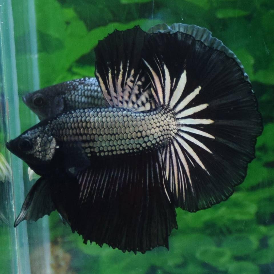 Imported ohm black copper male live betta fish charlie for Order betta fish