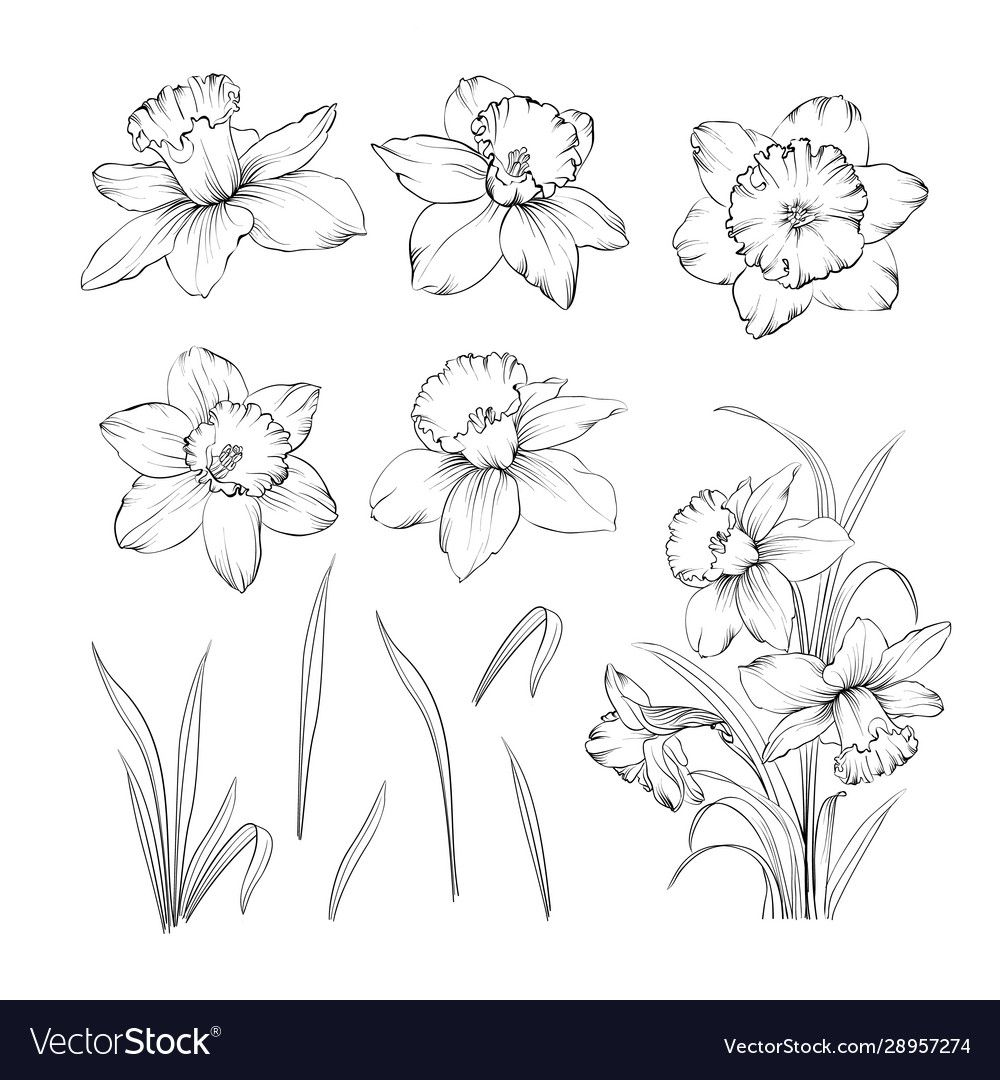 Set line drawing narcissus daffodils blossom vector image ...