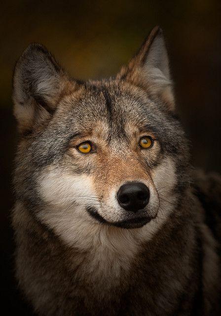 Portrait of an elderly grey wolf (Canis lupus)