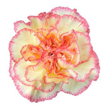 Pin By Whole Blossoms Wholesale Wed On Bicolor Wedding Flowers Family Flowers Carnation Flower Birth Month Flowers