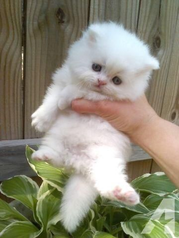 Persian kittens available he comes from champion show