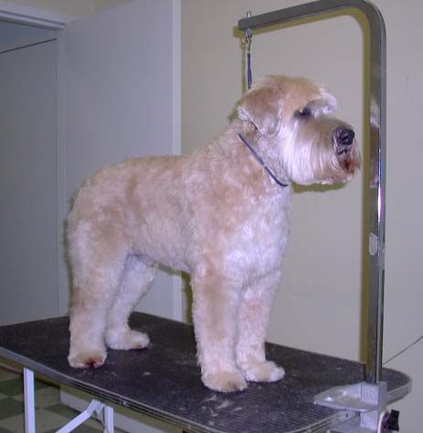 grooming terriers - Soft Coated Wheaton