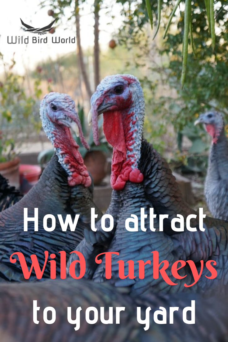 How To Attract Wild Turkeys To Your Yard Wild Turkey Wild Birds Attract Wild Birds