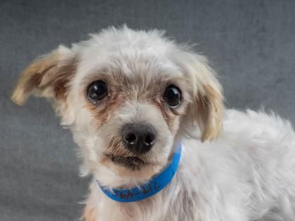 Adopt Richie A Lovely 8 Years 1 Month Dog Available For Adoption At Petango Com Richie Is A Maltese And Is Ava Small Dog Adoption Pets Dog Adoption