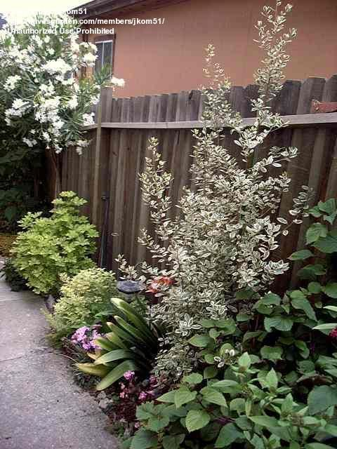 Full Size Picture Of Variegated Italian Buckthorn Evergreen Buckthorn Mediterranean Buckthorn Argenteovariegata Rh Patio Trees Plant Species Gravel Garden