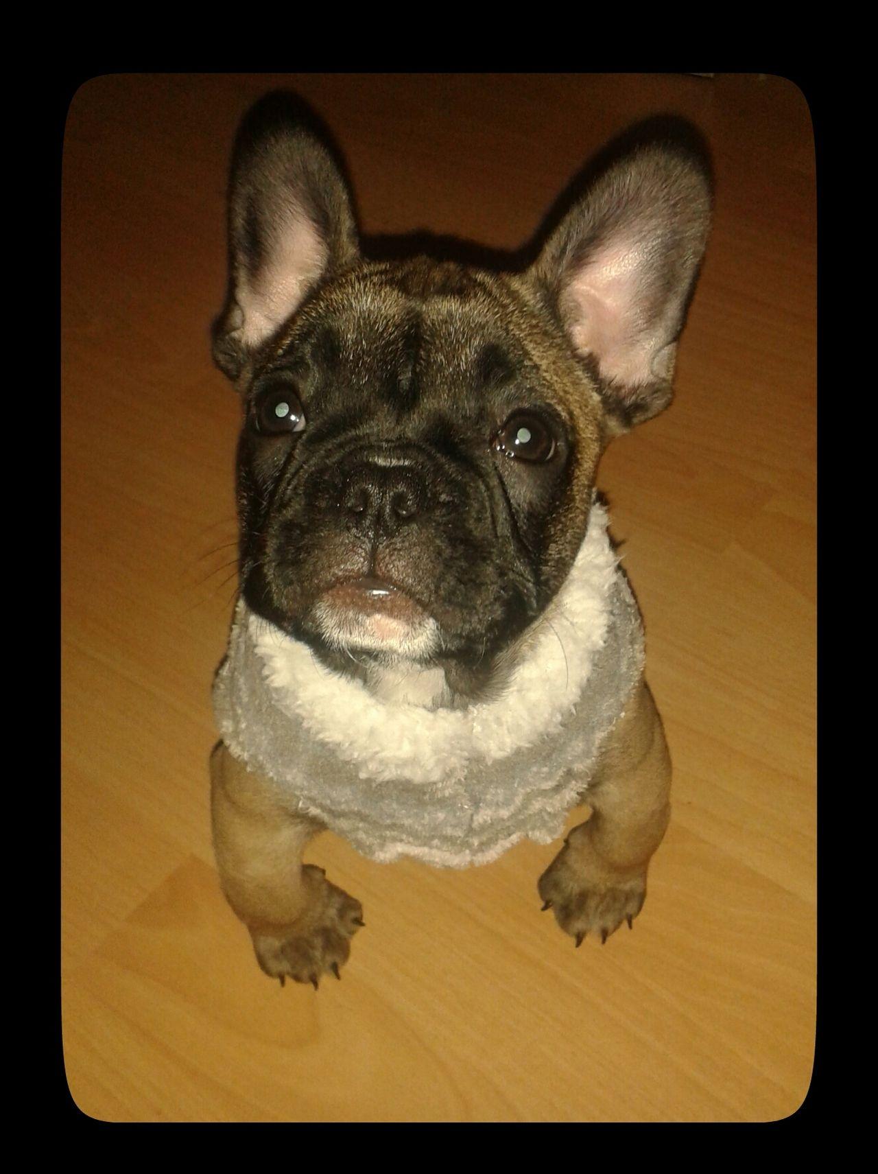 French Bulldog Puppy in a Lace Dress. Französische