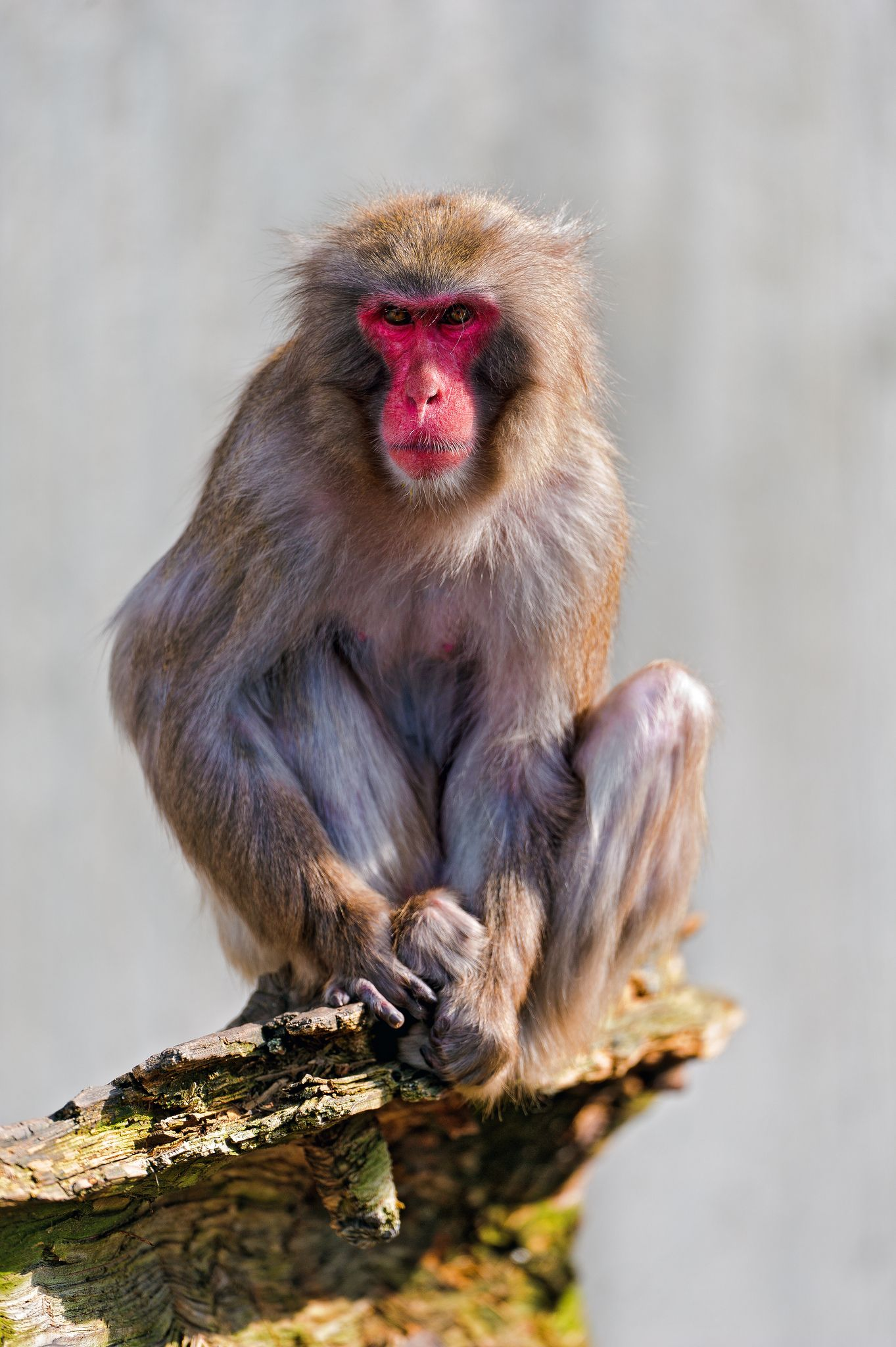 A Japanese (red headed) macaque sitting at the end of a stone and looking towards me.