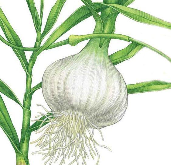 Growing Garlic From A Single Clove Diy Garten Ideen 400 x 300