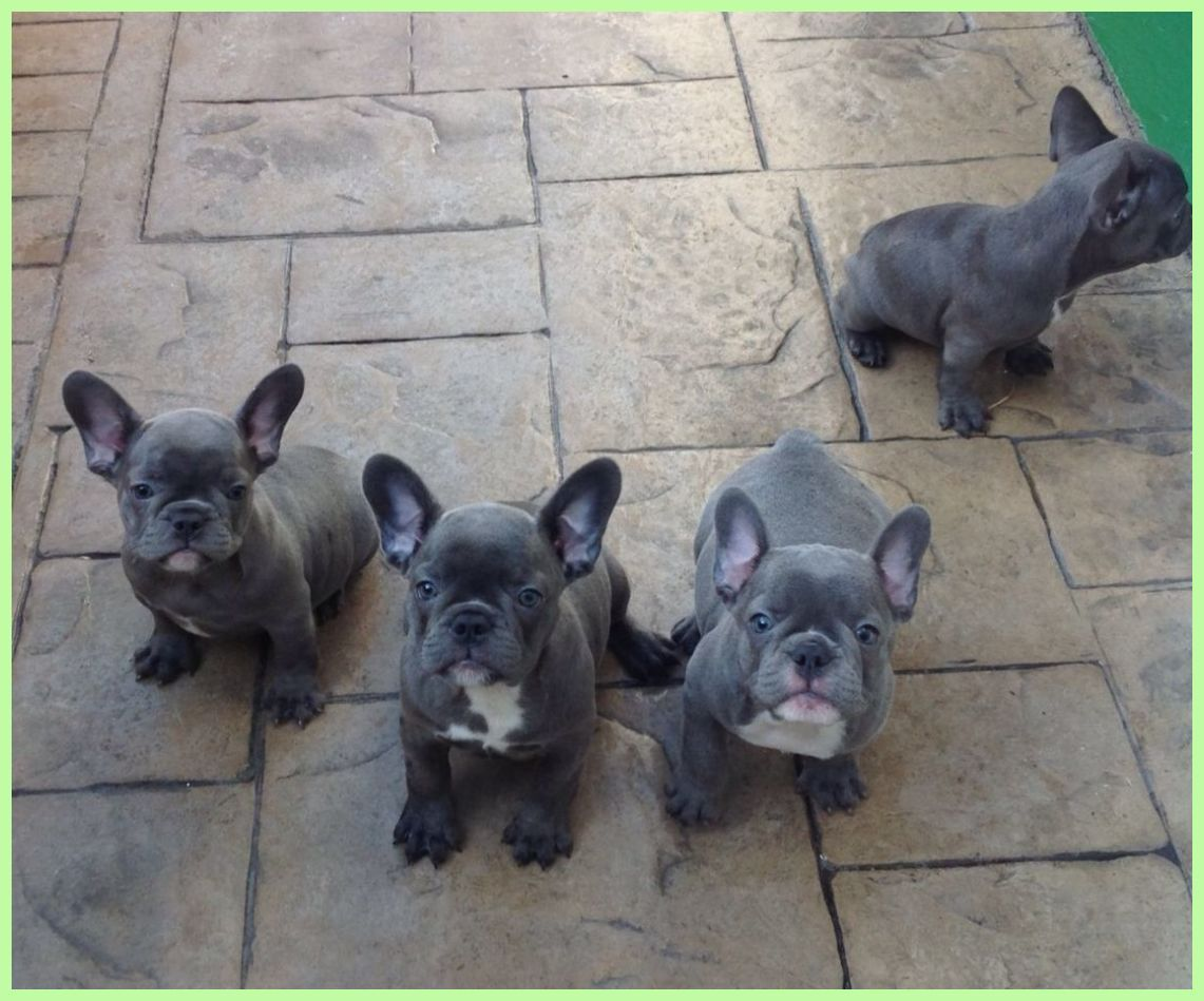 French Bulldog Dog Breed Information Blue French Bulldog Puppy Blue French Bulldog Puppie French Bulldog Blue French Bulldog Puppies French Bulldog Dog