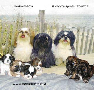 Sonshine Shih Tzu Shih Tzu Dog Shih Tzu Dogs Puppies
