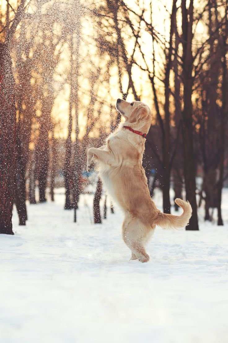 What Is Your Favorite Activity To Do In Snow Dogs Golden Retriever Golden Retriever Dog Love