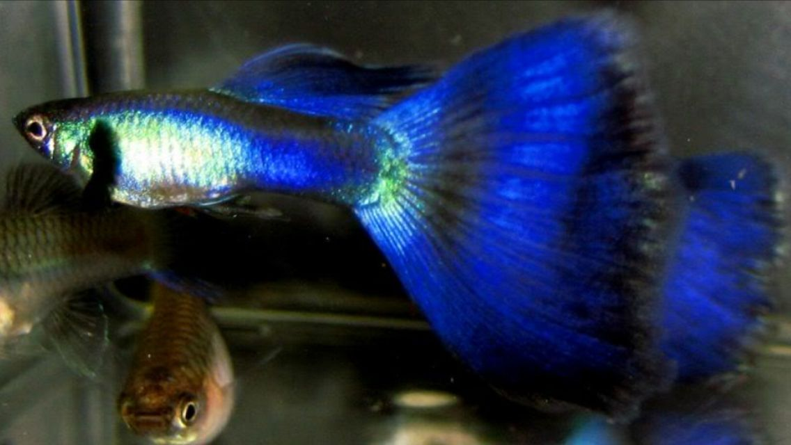 Guppy Freshwater Fish | Poecilia Reticulata Moscow Guppy Cute Animals Pinterest