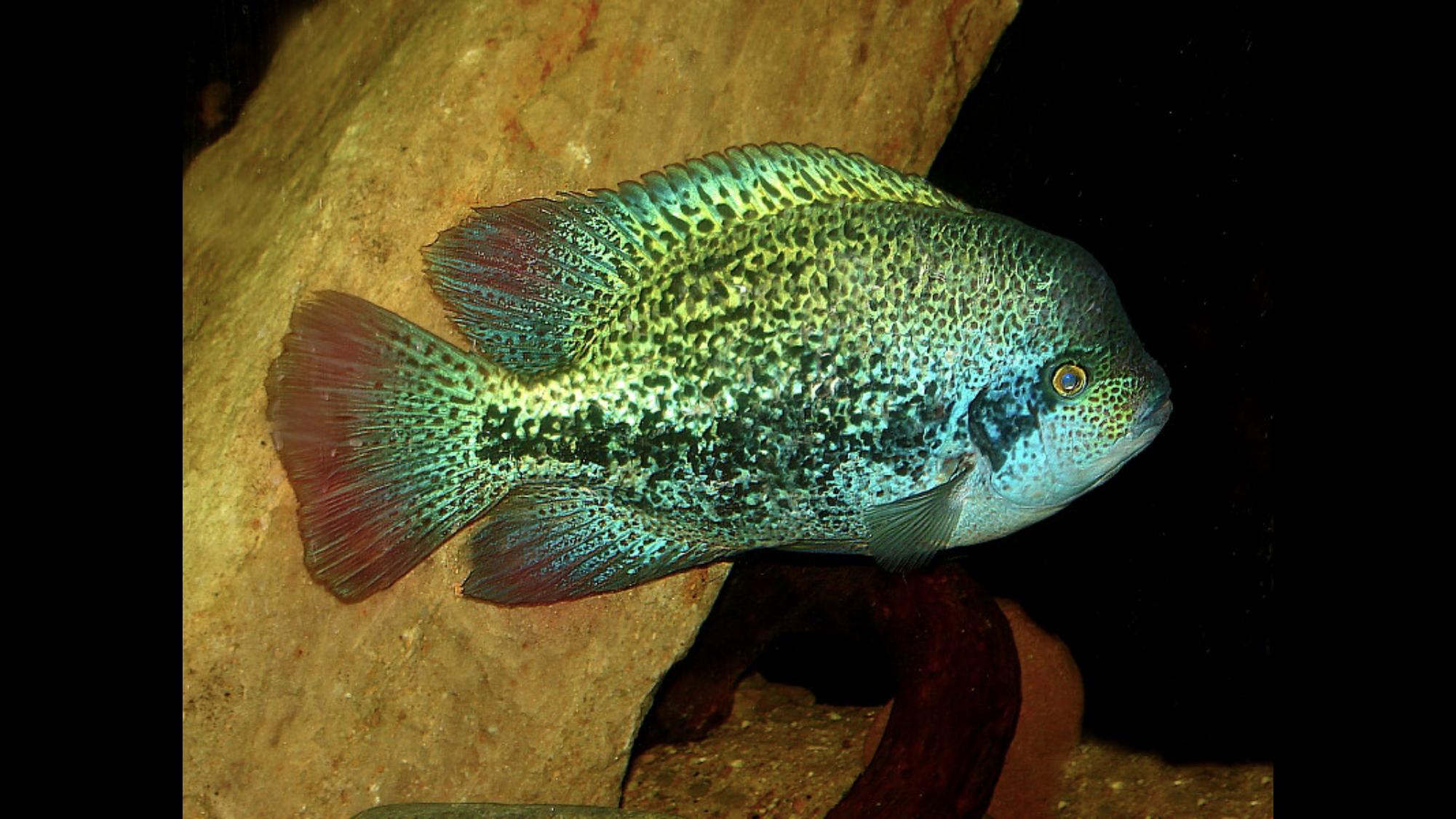 Pin On Fish Freshwater